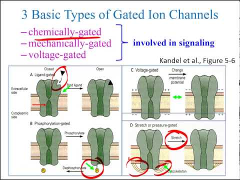Ion Channel Types