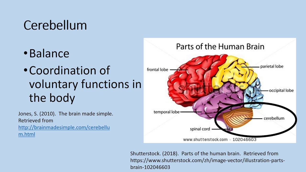 Mcconnell Regions Of The Brain Youtube