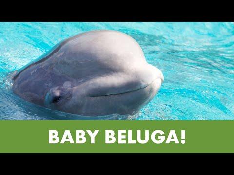 SeaWorld San Antonio Welcomes New Beluga Calf   SeaWorld®