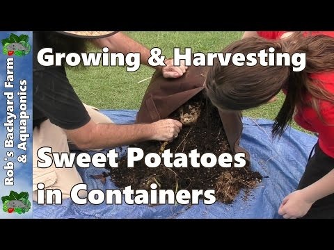 Growing & Harvesting Sweet Potatoes In Containers