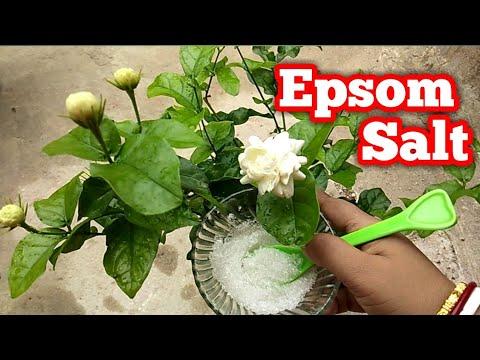 Epsom Salt Use For Plants / Epsom Salt In Gardening / Magnesium Sulfate !! By Priya Sarkar
