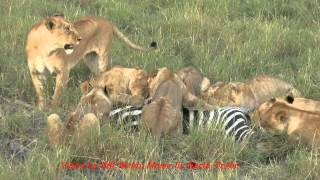 Lioness makes solo zebra kill and invites sisters and cubs to join the feast