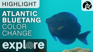 Atlantic BlueTang Color Change - Cayman Reef Live Cam Highlight thumbnail
