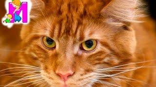 МЕЖДУНАРОДНАЯ ВЫСТАВКА КОШЕК ВЫСТАВКА КОТОВ 2016 | Radmir Expohall  Харьков Cat Show | Matilda
