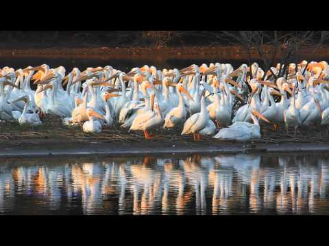 American White Pelicans Superflock at Alabama's Wheeler National Wildlife Refuge