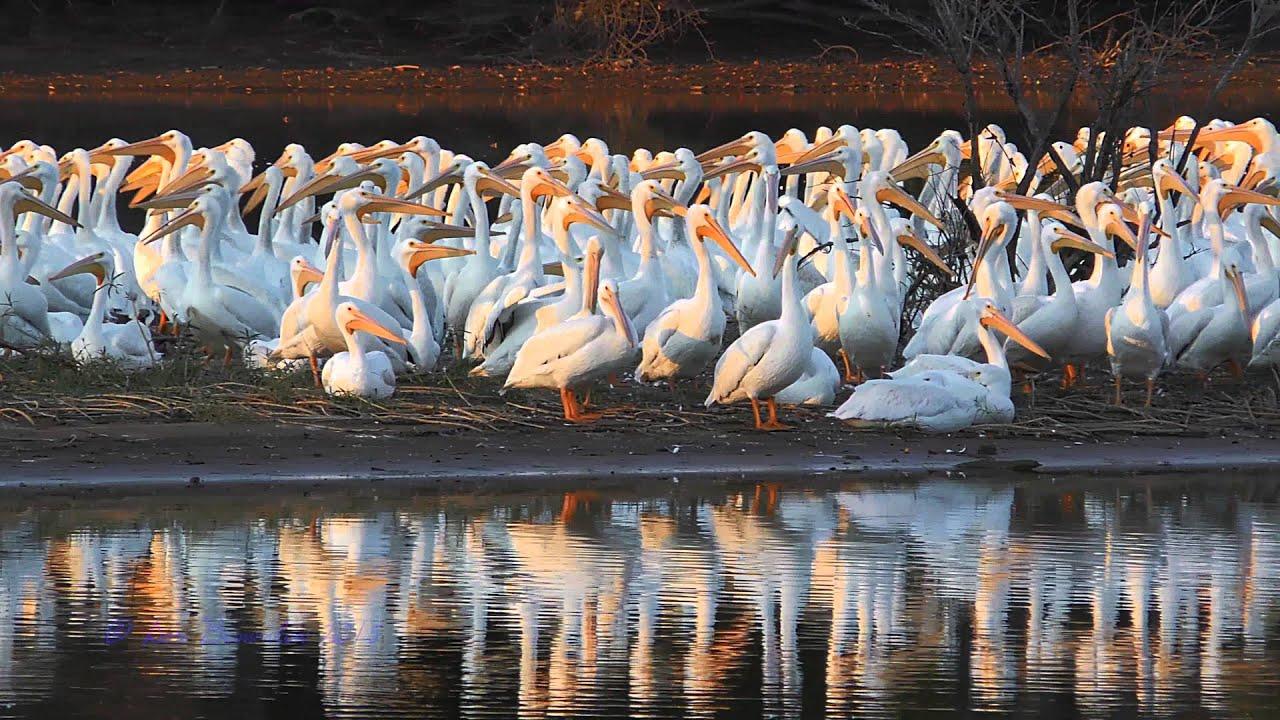 Download American White Pelicans Superflock at Alabama's Wheeler National Wildlife Refuge