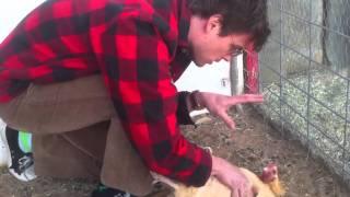 MGG hypnotizes a chicken