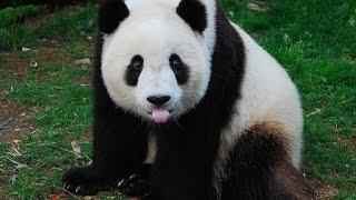 Смешные медведи! Приколы С Животными!  Смешные медведи Панды!