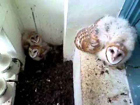 Baby Barn Owls Hissing - YouTube