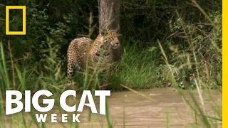 Hunting a Capybara | Big Cat Week