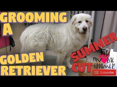 Golden Retriever Cute Summer Haircut