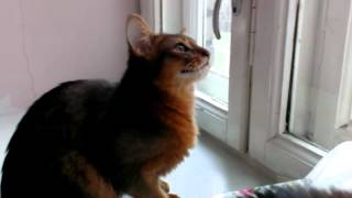 Кошка сомали тявкает на голубей за окном