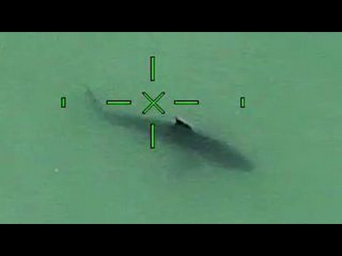 Cops track great white sharks near California beach
