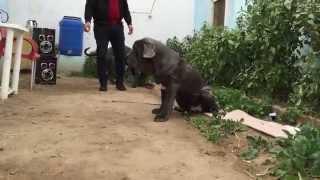 Neapolitan Mastiff Male & Female Imported For Sale