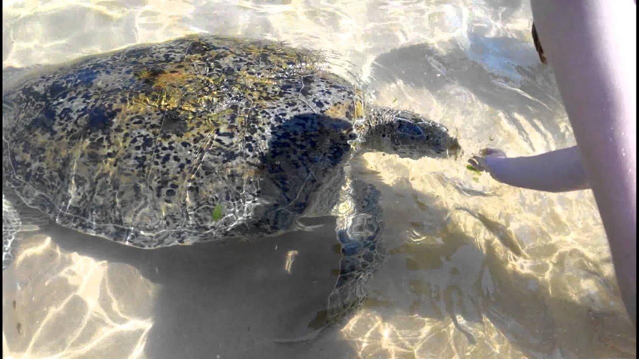 Фото плывущая черепаха больше результатов