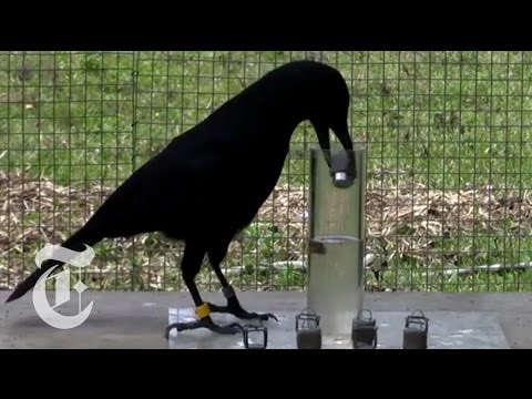 How Smart Are Crows? | ScienceTake | The New York Times