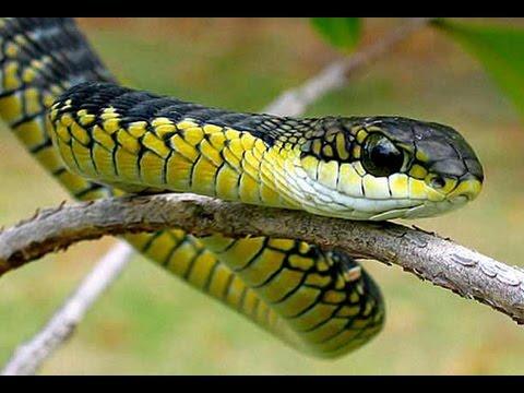 Snake Lightning Boomslang Climbs Faster Than You Imagine