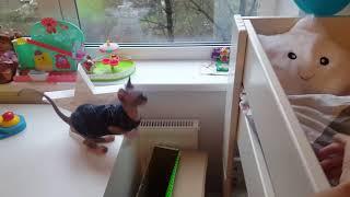 Кошка сфинкс прыгает