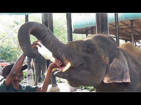 Milk Feeding Of  Baby Elephants in Pinnawala Elephant Orphanage, Shri Lanka