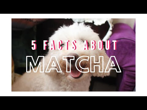 5-facts-about-my-toy-poodle