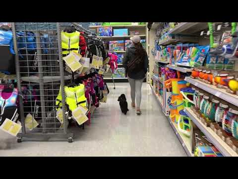 1 Year Old Toy Poodle   Best Toy Poodle Dog Training   Off Leash K9   Board and Train   Oklahoma