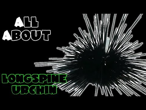 All About The Black Longspine Urchin