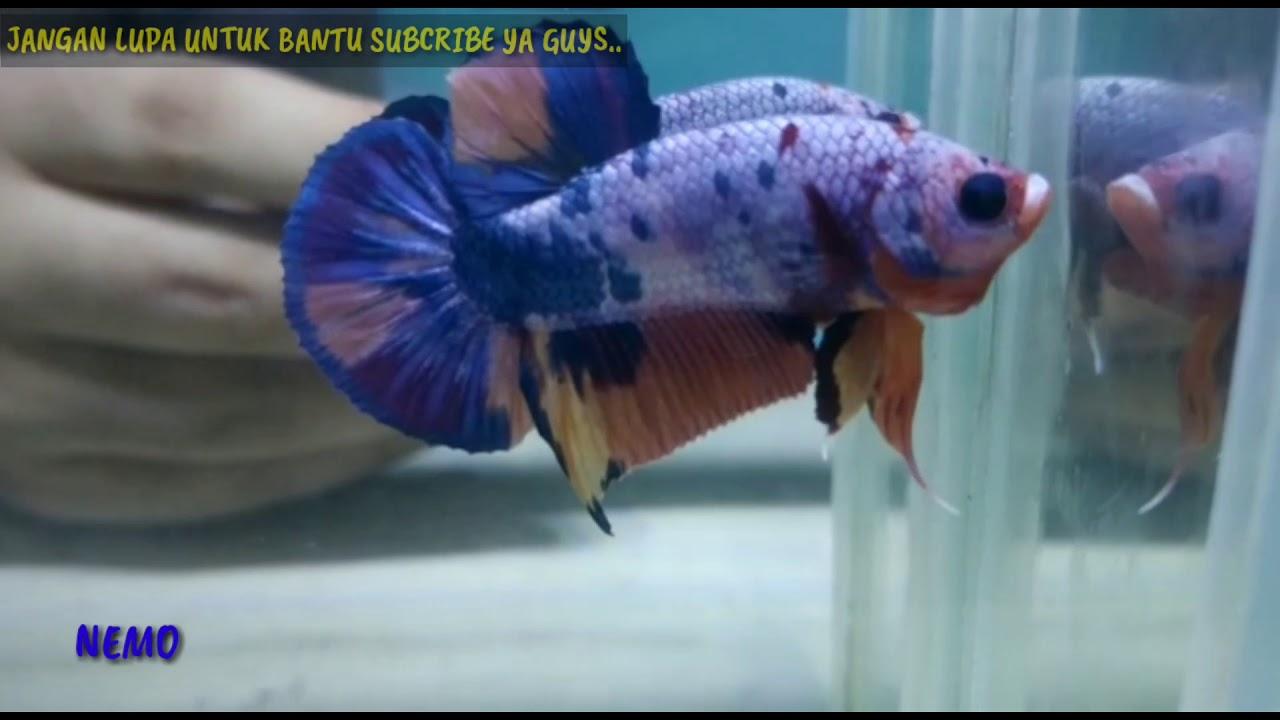 Jenis Ikan CUPANG...Adu & Hias wow #cupang - YouTube