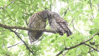 Owls Groom Each Other While Perched on a Tree
