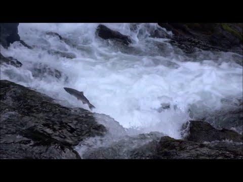 Russian River, Alaska - Huge Sockeyes and King Salmon