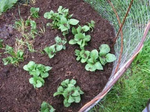 potato growing tips nz
