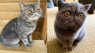 EXOTIC SHORTHAIR CATS 2021
