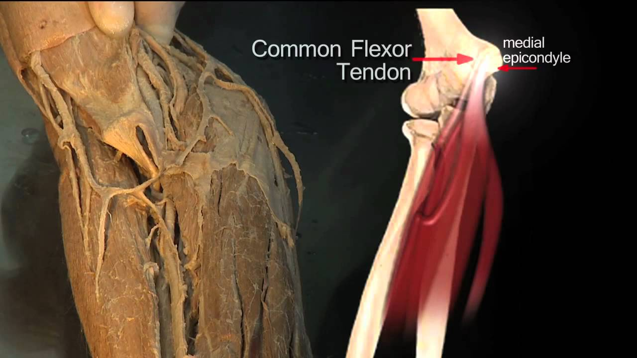 Forearm Flexor Compartment Superficial Muscles Anatomy Tutorial