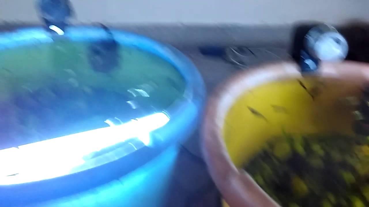 tub aquarium with molly fish - YouTube