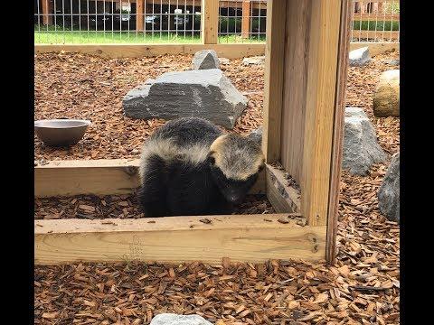 Animal Adventures with Jordan: Honey Badgers