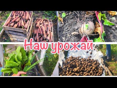 СОБИРАЮ УРОЖАЙ❗️Копаем картошку, морковку и свеклу❗️