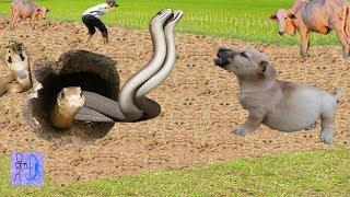 Nghe Tiếng Chó Sủa Ở Vườn Ra Phát Hiện Cặp Rắn Hổ Bà Khổng Lồ . Catch Big Snake Vs Dog