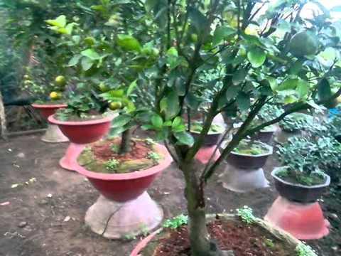 Cây quýt trồng chậu có nhiều trái