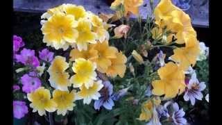 САЛЬПИГЛОССИС -ОЧАРОВАТЕЛЬНЫЙ СОЛНЦЕЛЮБ(Всем привет! .Сегодня я хочу вас познакомить с удивительно красивым садовым цветком под названием - сальпиг..., 2014-09-25T18:34:40.000Z)