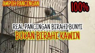Download lagu Pancingan lovebird birahi bunyi #birahi ngekek