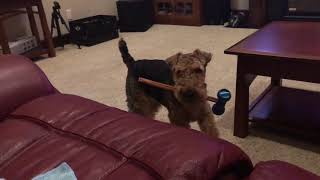 Welsh Terrier (Griff) he likes his longer bully stick, Funny and cute!
