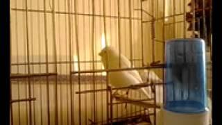 BÜLBÜL ÖTÜMLÜ ŞAMPİYON KANARYAM (ÜMİT HOCA)     (Nightingale Song - canary -youtube)