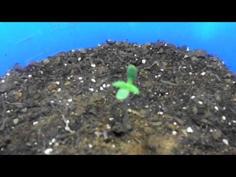 4 day old HEALthy marijuana plant