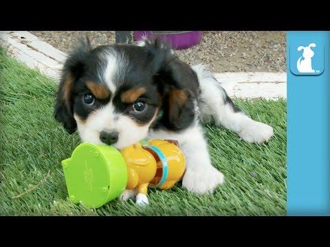 Cavalier Puppies VS. Solar Energy, Who Will Win? - Puppy Love