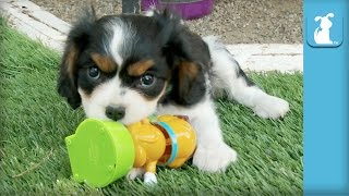 Cavalier Puppies VS. Solar Energy, Who Will Win?  Puppy Love