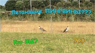 Солдатский Чибис - Новозеландская Птица/Vanellus miles- New Zealand Bird