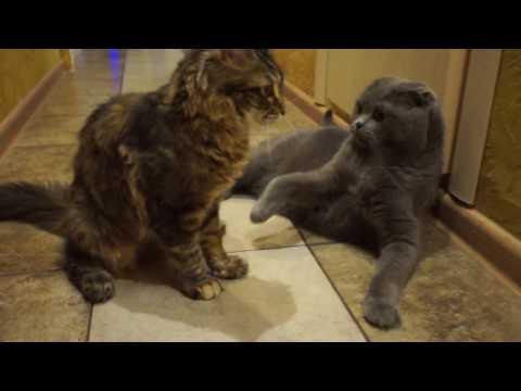 Все окрасы шотландских кошек, фото и описание