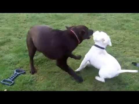 Labrador Cocoa, Westie Pads & Bichon Frise Pepper at A & B Dogs Boarding & Training Kennels.