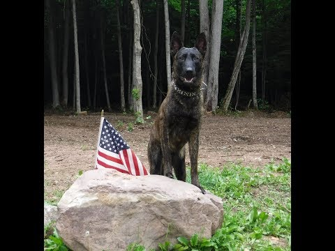 "Meet ""Bet"" our 11 mo. AKC Sable Male Belgian Malinois. Quality Family Companion and Protection Dog"