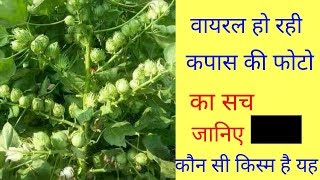 Cotton , cotton seeds, कपास की खेती viral || by wd