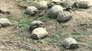 Брачный период степной черепахи